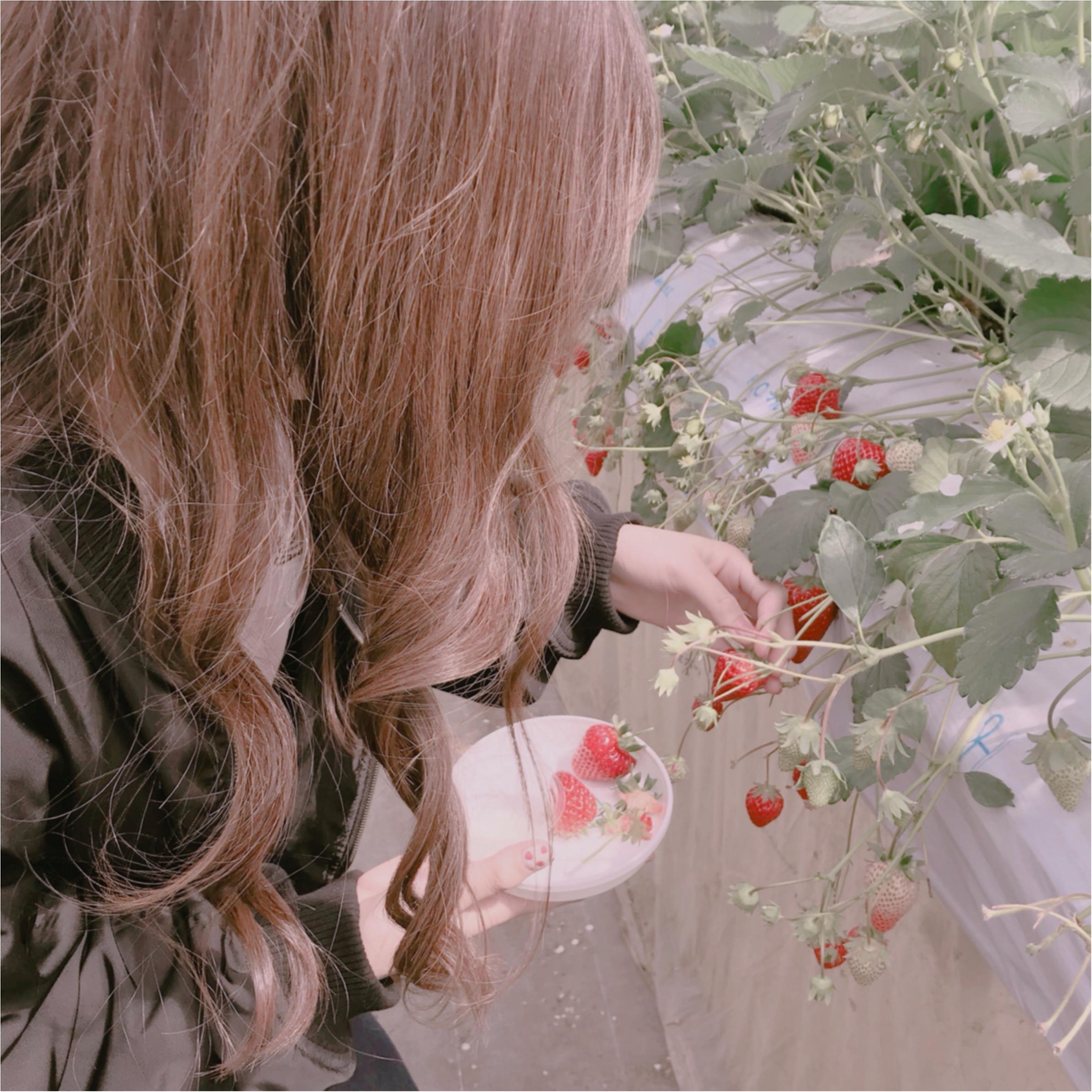 春といえば【いちご狩り】なんと、白イチゴが食べ放題のいちご園があるんです❤︎_3
