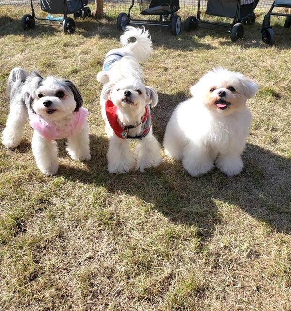 チワワとマルチーズのミックス犬・太郎君が、友達と公園で記念撮影