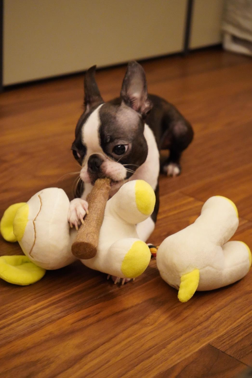 新品のおもちゃで遊ぶ犬・アルコくん