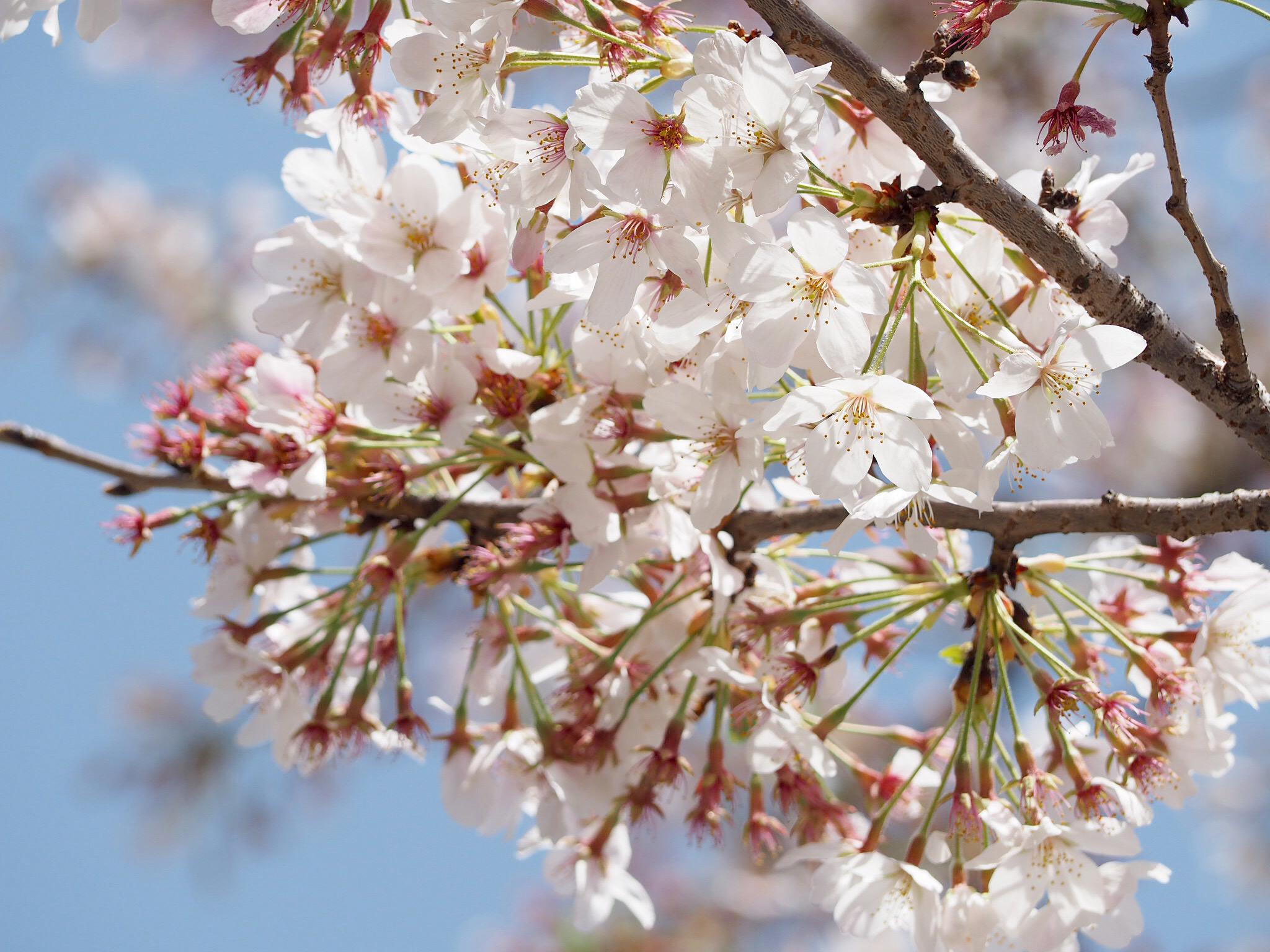 【おうちでお花見♡】AOYAMA FLOWER MARKETの桜が咲きました♩_1