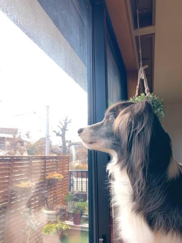 【今日のわんこ】窓際で、凛と佇むメルちゃんが美しい!_1