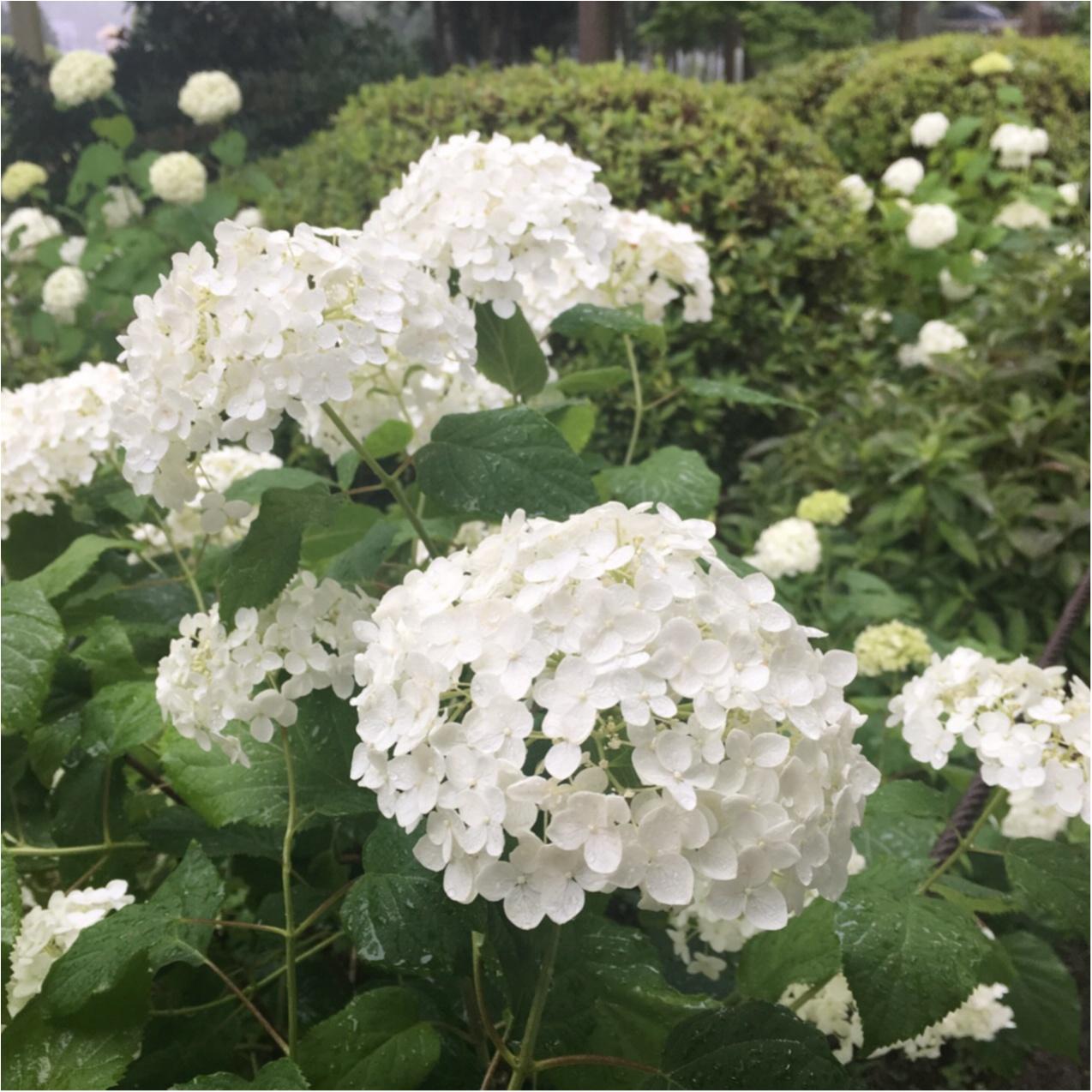 梅雨の時期に見たい♪紫陽花の名所へおでかけ…*見つけたハートの紫陽花♡_5