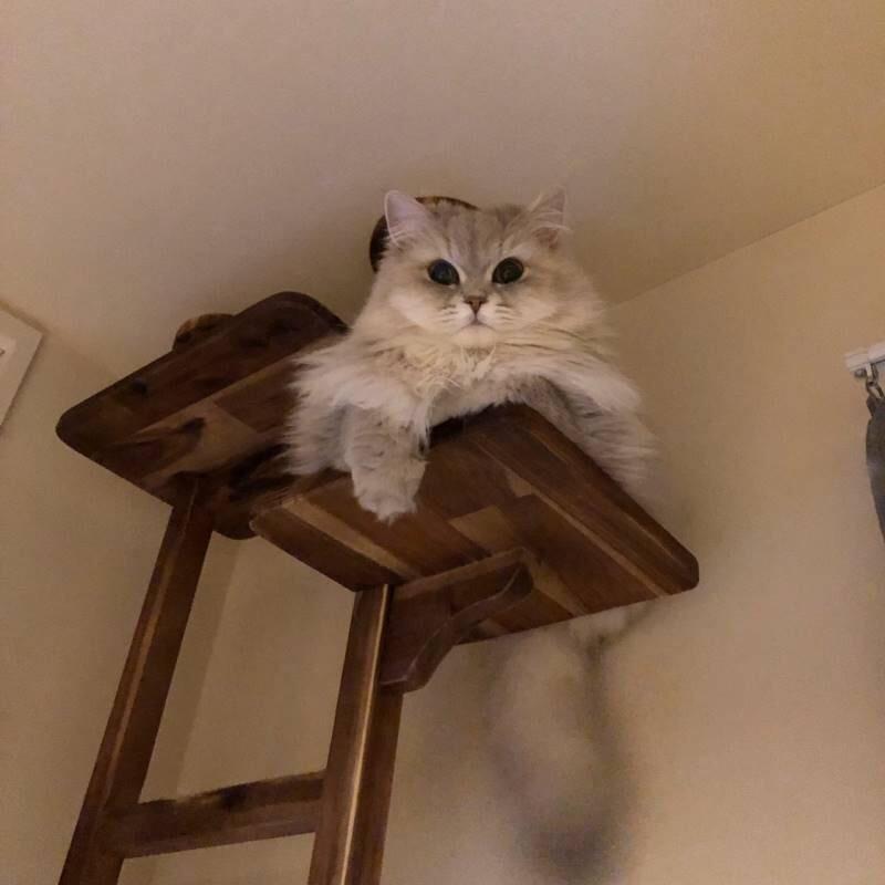 【今日のにゃんこ】キャットタワーから見下ろしてくるココンちゃん_1