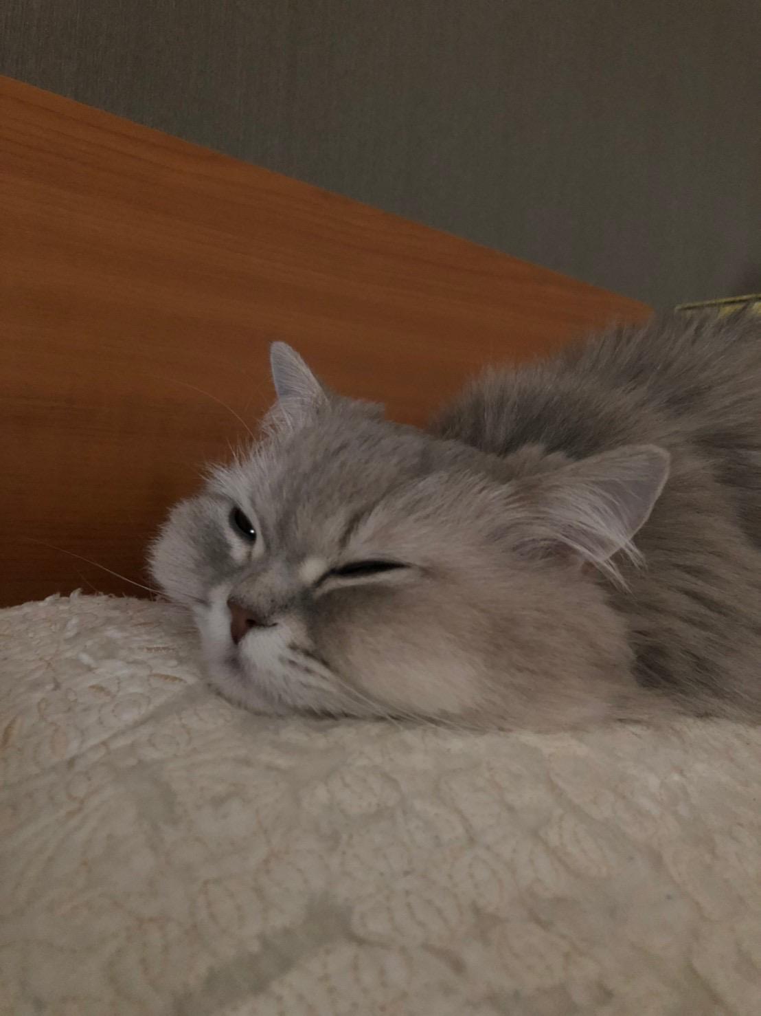 【今日のにゃんこ】ココンちゃんがぺたっと、可愛すぎる♡_1