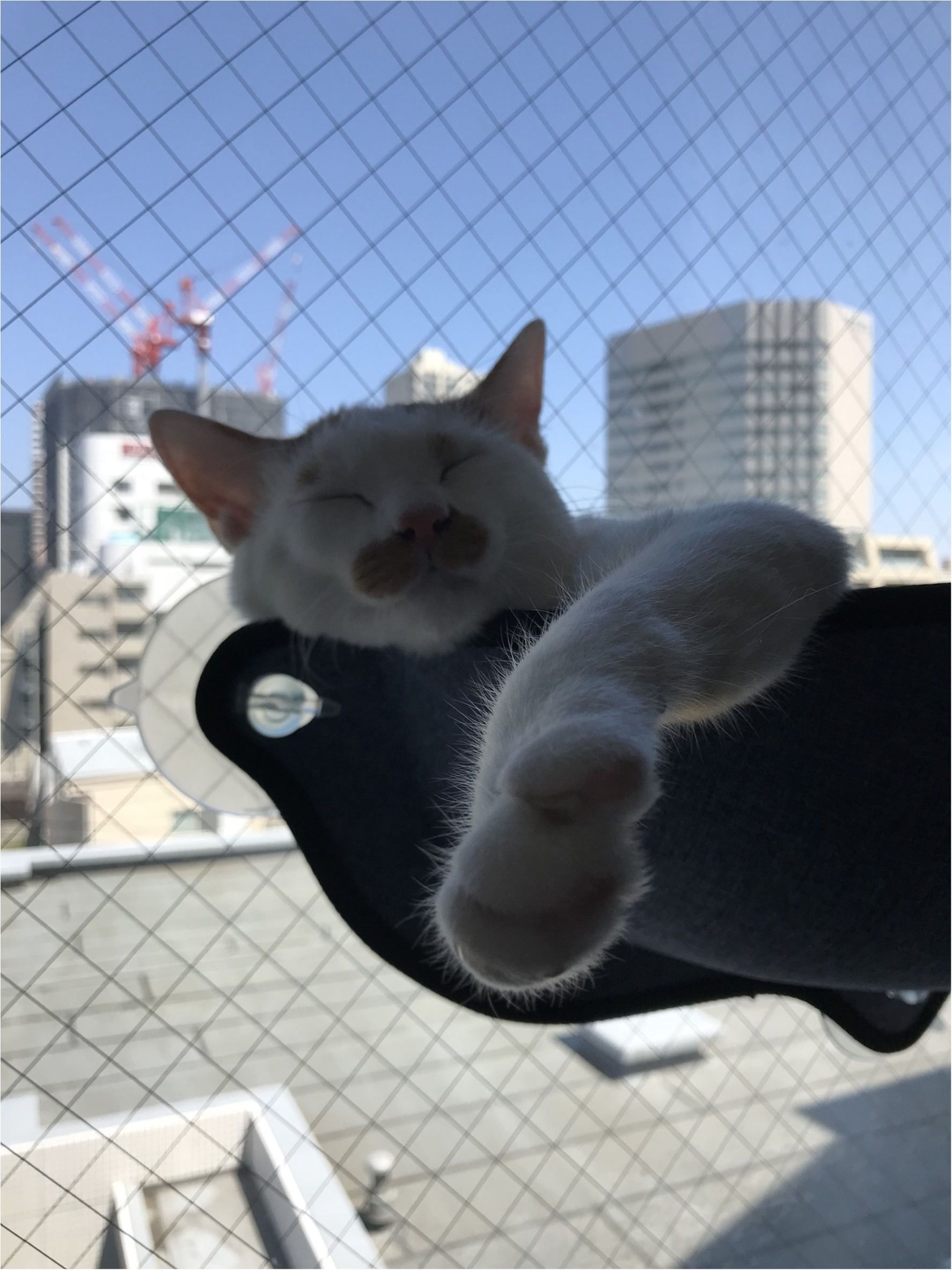 【今日のにゃんこ】窓際でお昼寝するラビくん_1