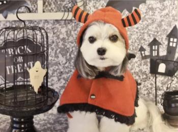 【今月のわんこ】チワワとマルチーズのミックス犬・太郎くんのコスプレ5選! ハロウィンの参考にしてみて♬