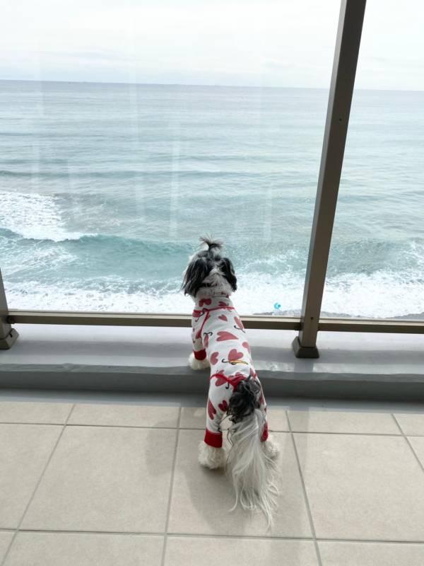 部屋の窓から海を眺めているチワワとマルチーズのミックス・太郎君