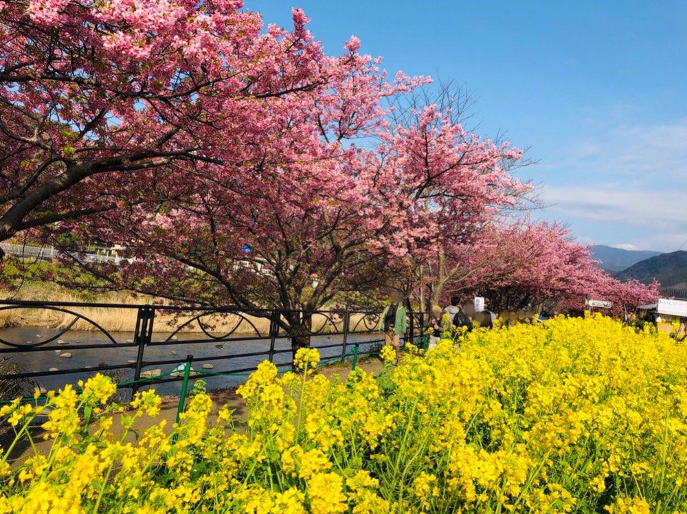 今が見頃❤︎3月なのに桜を楽しめる!河津桜を見に行ってきました*・゜゚・*:.。..。.:*・_1