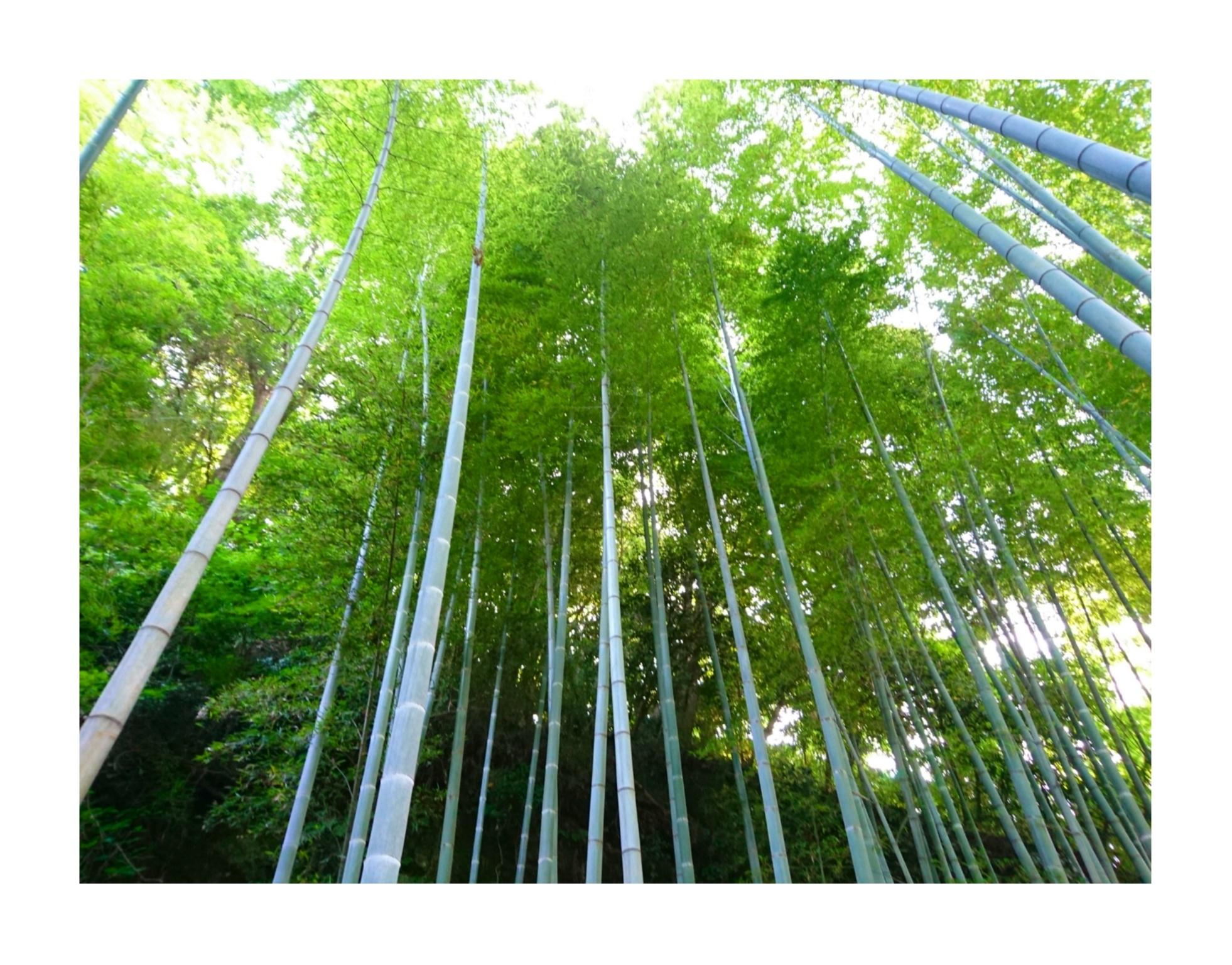 【散策】新緑が美しいこの季節は、鎌倉がおすすめ! ~ 紫陽花が見頃です ~  _4