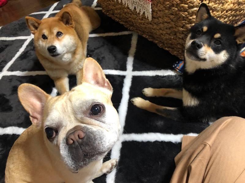 飼い主を見つめる3匹の犬