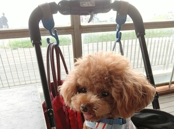 【今日のわんこ】テテちゃんがペットカートから乗り出して狙っているのは?