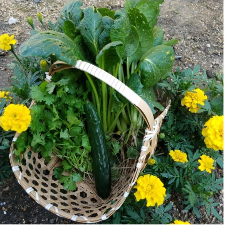 実はお米だけじゃない!? 女子に人気のパクチー、バジル、ローズマリーなど野菜もたくさん作っているんです!【#モアチャレ 農業女子】_1