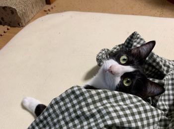 【今日のにゃんこ】夜更かしルウくん、布団から顔を出して伝えたいこととは?