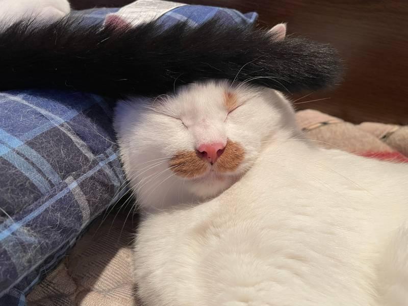 寝ている猫・ラビくんのおでこに弟猫・ベルくんの尻尾がのっている様子