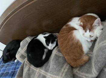 【今日のにゃんこ】ラビ・ベル・ルウくんの猫だんご!