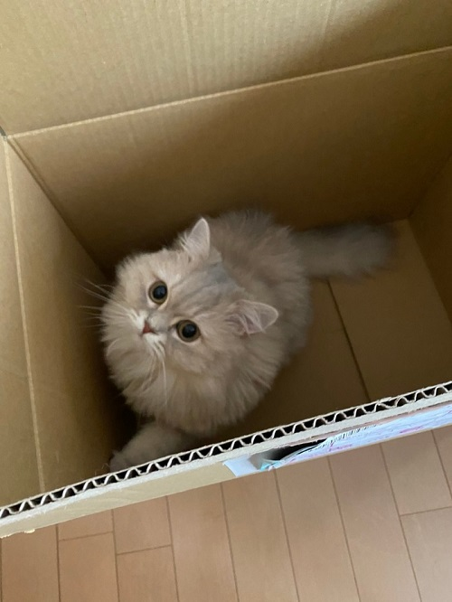 段ボールに入る猫、ココンちゃん