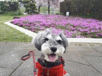 【今日のわんこ】お花が大好き! サクラちゃんの春の思い出