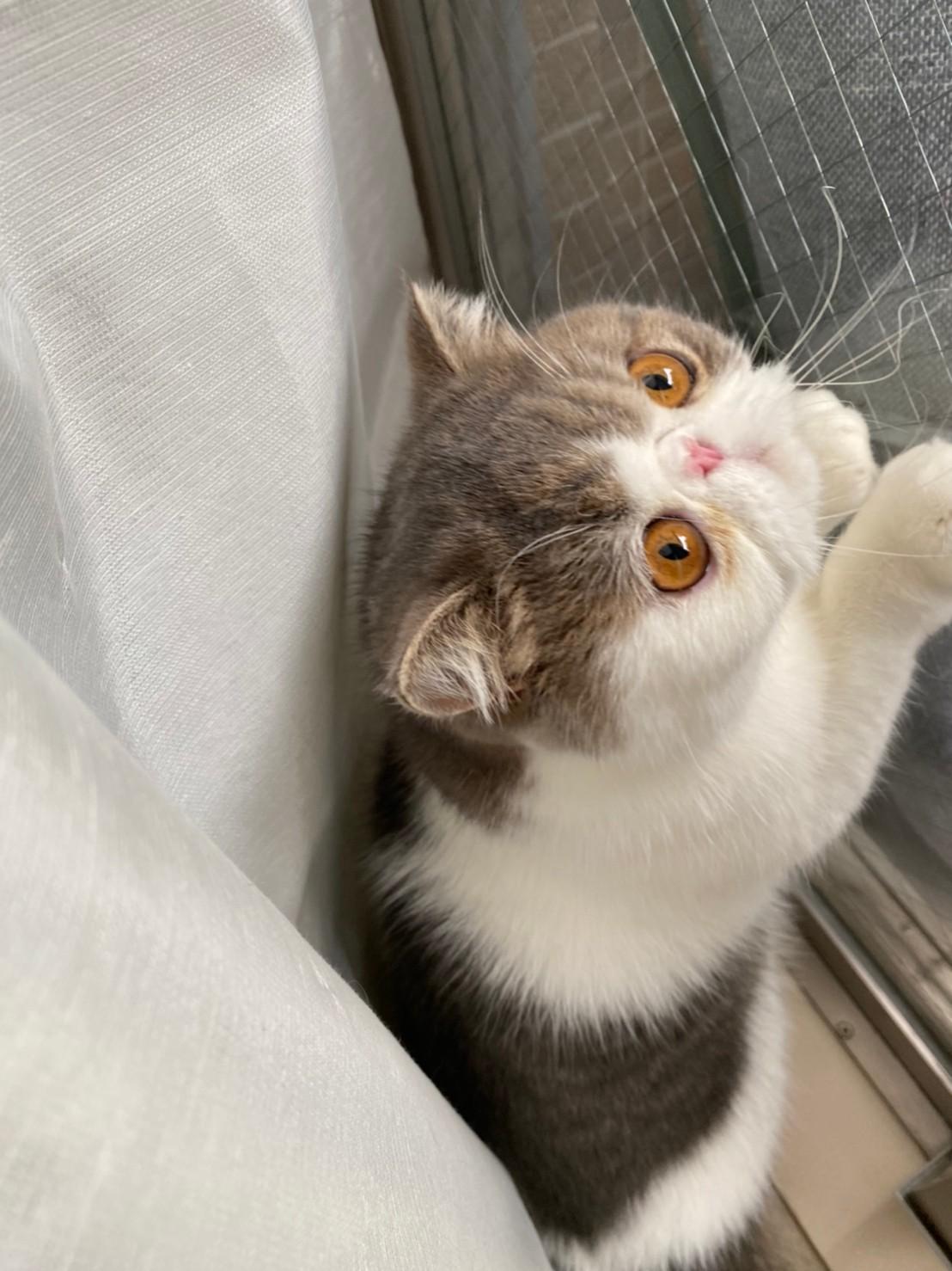 窓を開けようとしている猫・こたつくん