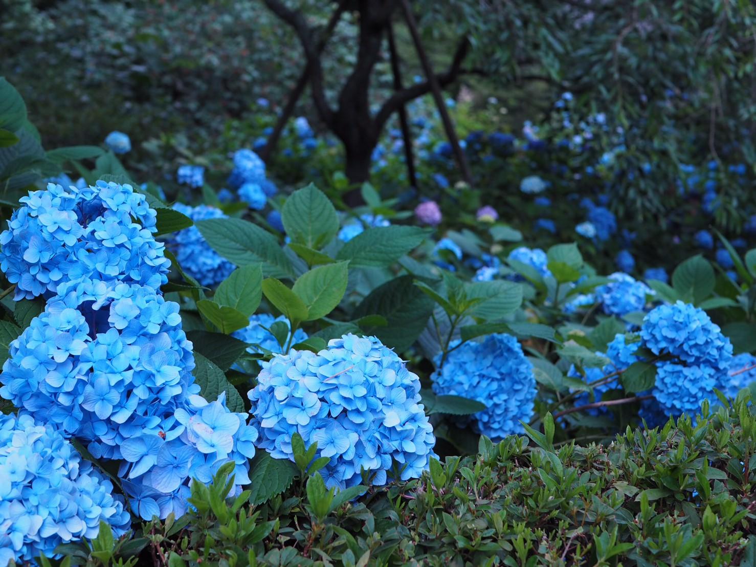 【6月鎌倉旅】#明月院ブルー あじさいの旅♩ _3