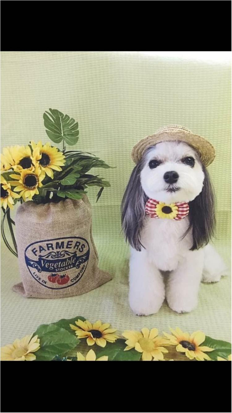 【今日のわんこ】ルフィみたい? 麦わら姿の太郎くんがかわいい♡_1
