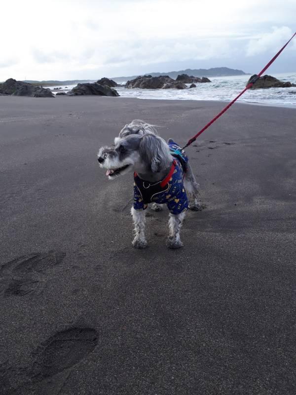 海岸を歩く犬・サクラちゃん