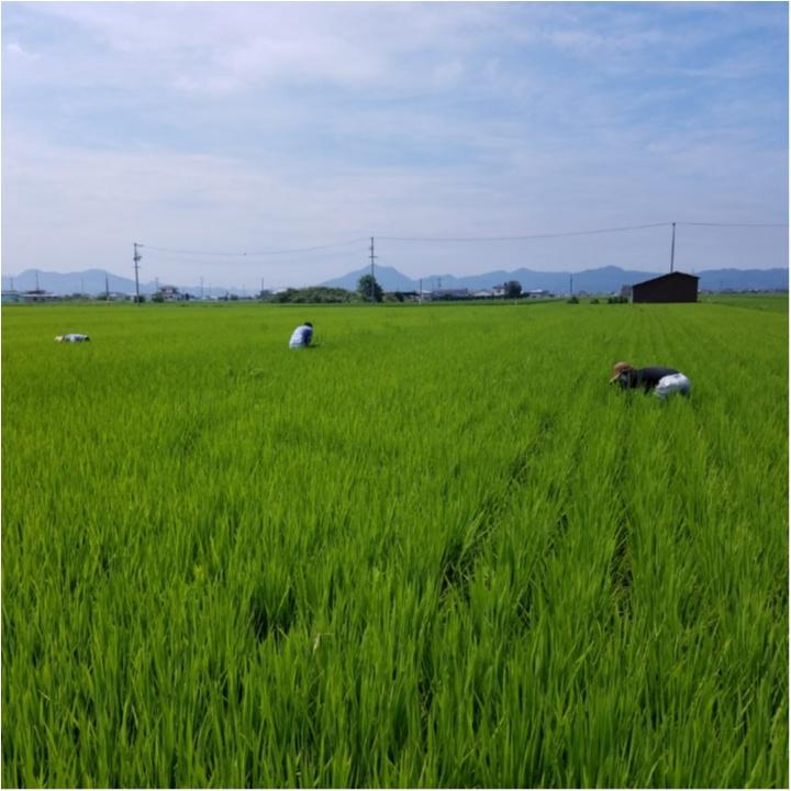 稲の成長記録!暑さに負けず草取り!もうすぐ穂が…!?【#モアチャレ 農業女子】_2