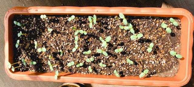 【ぶり農園】初めてのベランダ菜園でも育てやすい食料・お花はどれだ?_6