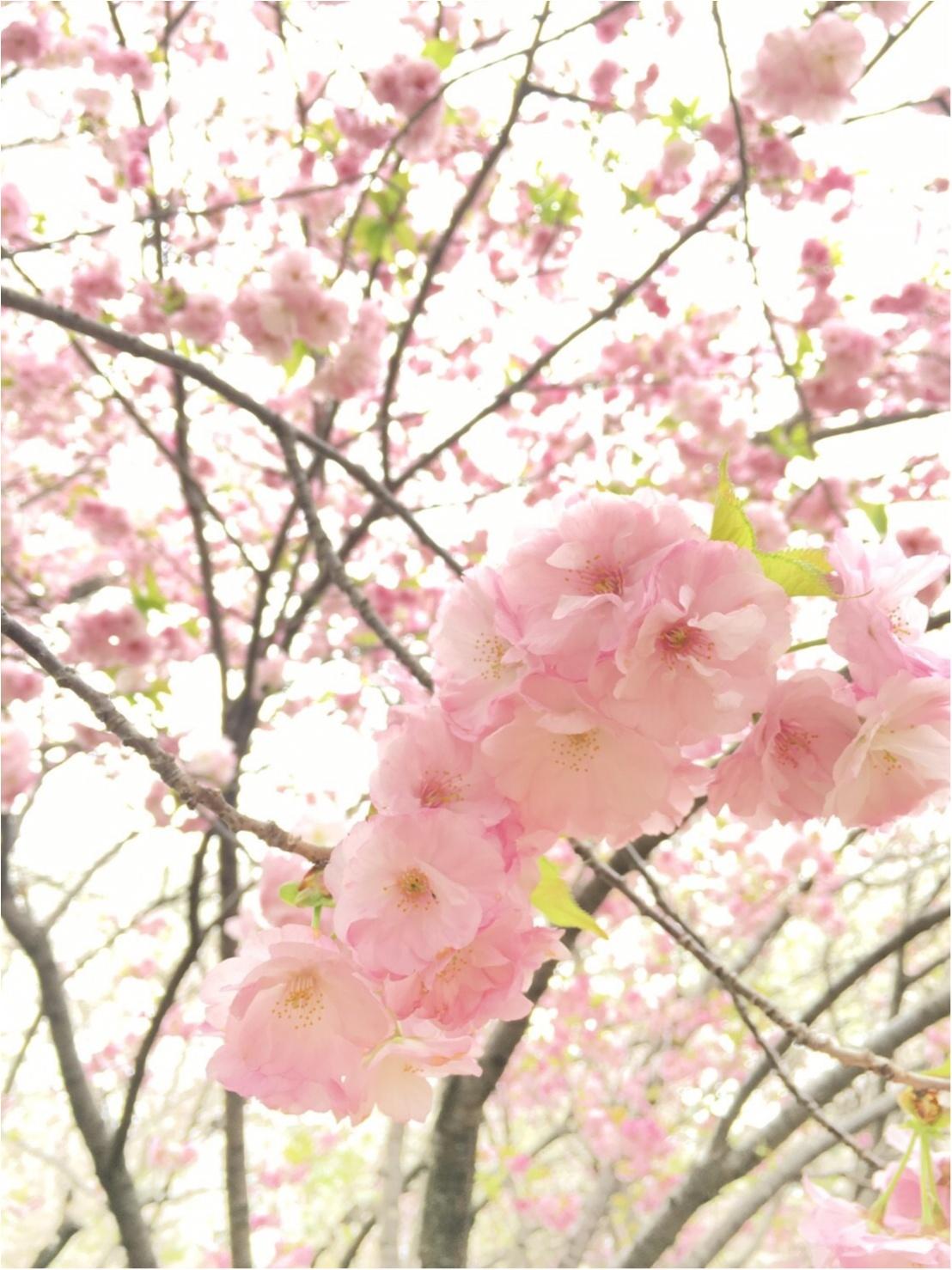 《公園はしご旅》in 福岡 今が見頃!とっておきの桜スポットをご紹介!!_8