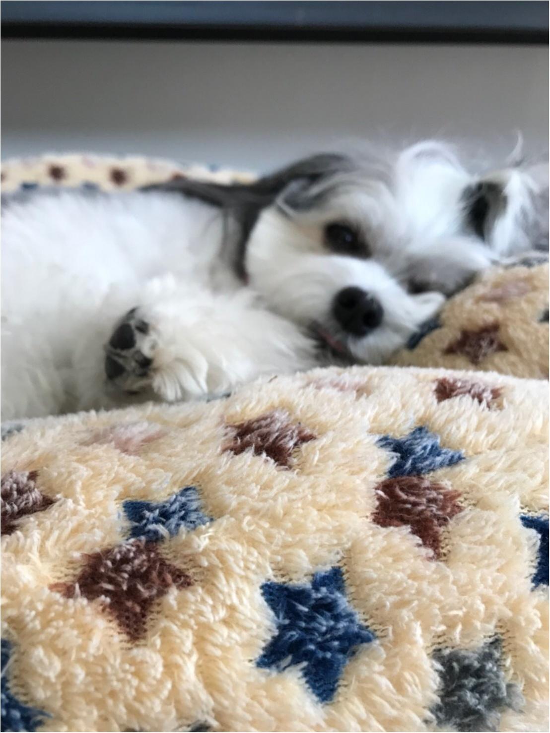 【今日のわんこ】「ぼくも月曜日はしんどいわん......」ごろんと寝転ぶ太郎くん_1