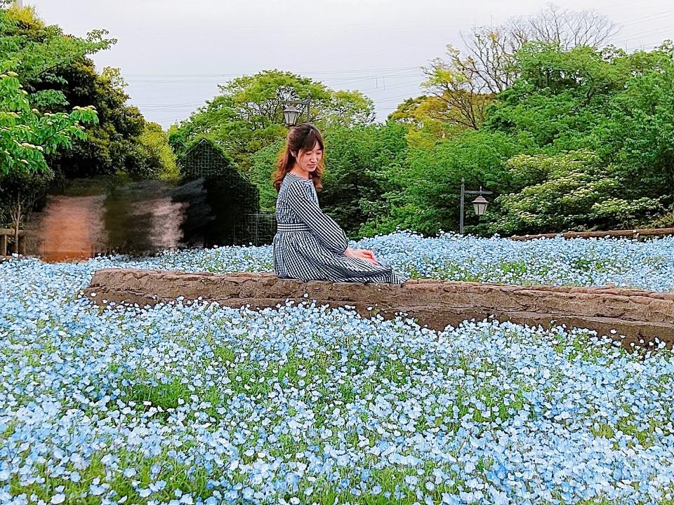 神奈川県でも見られる!ネモフィラ✿ポピー祭りも開催中!_2