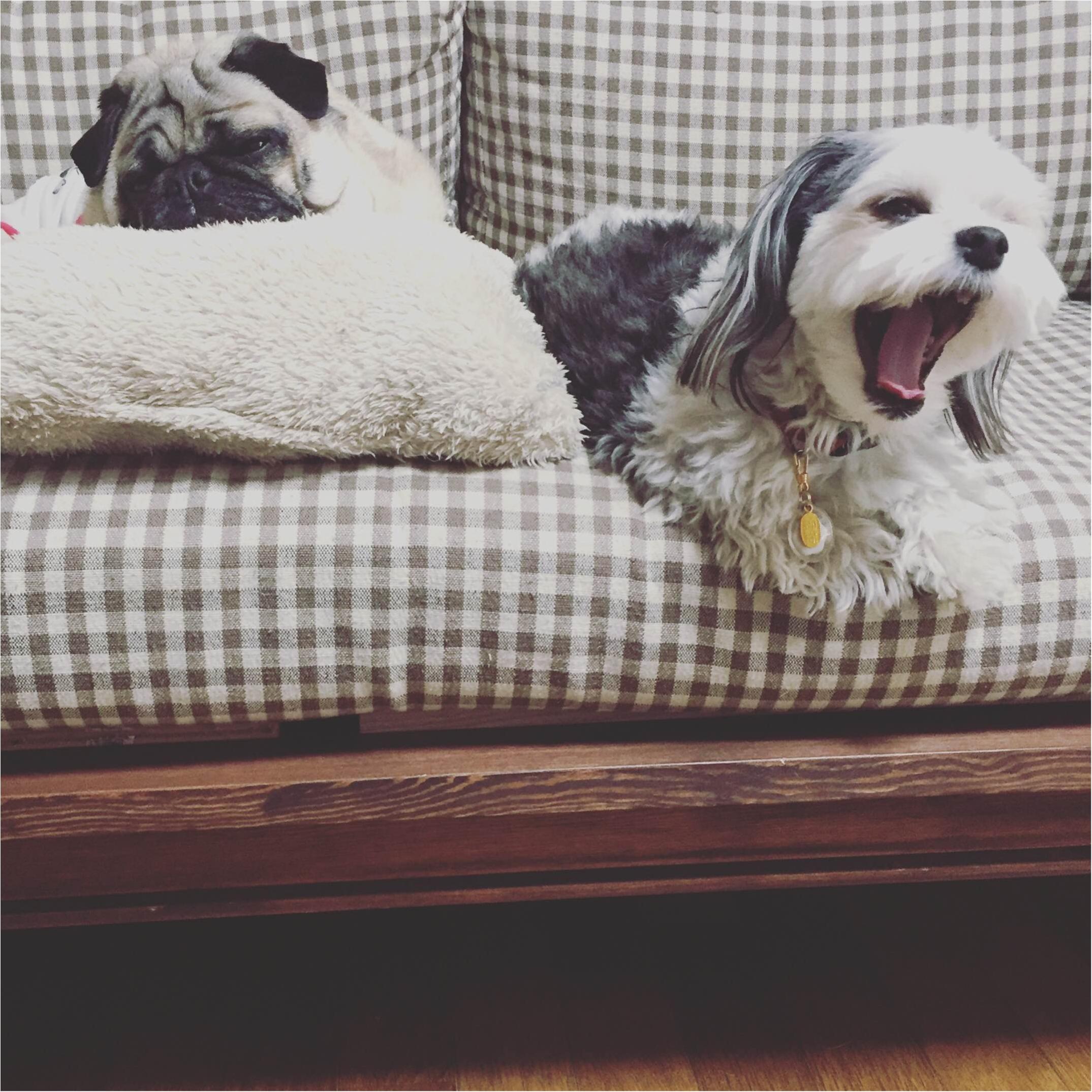 【今日のわんこ】 ソファーの上でお友達とリラックスする太郎くん♪_1