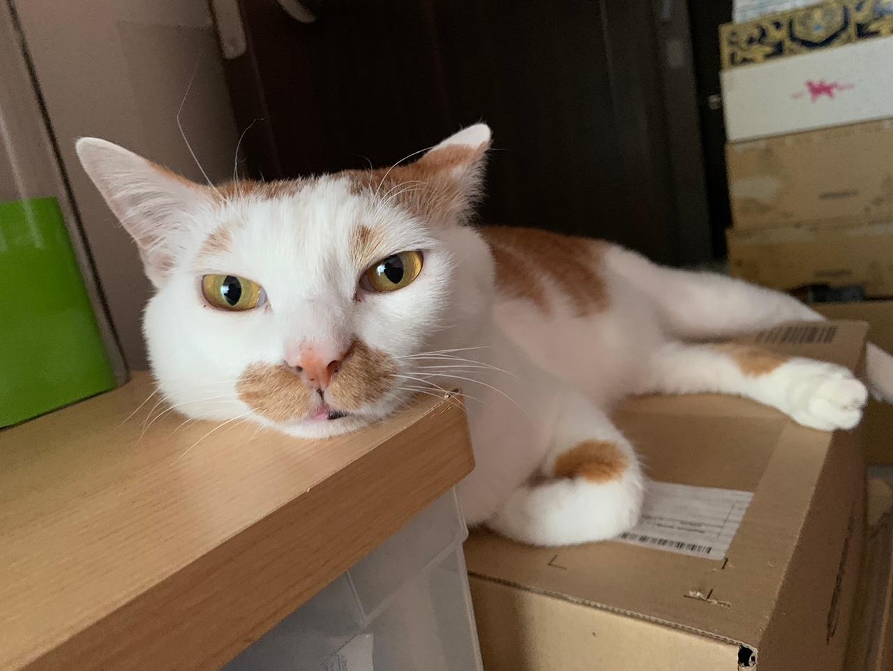 雑種猫・ラビくんがこちらを見ている写真