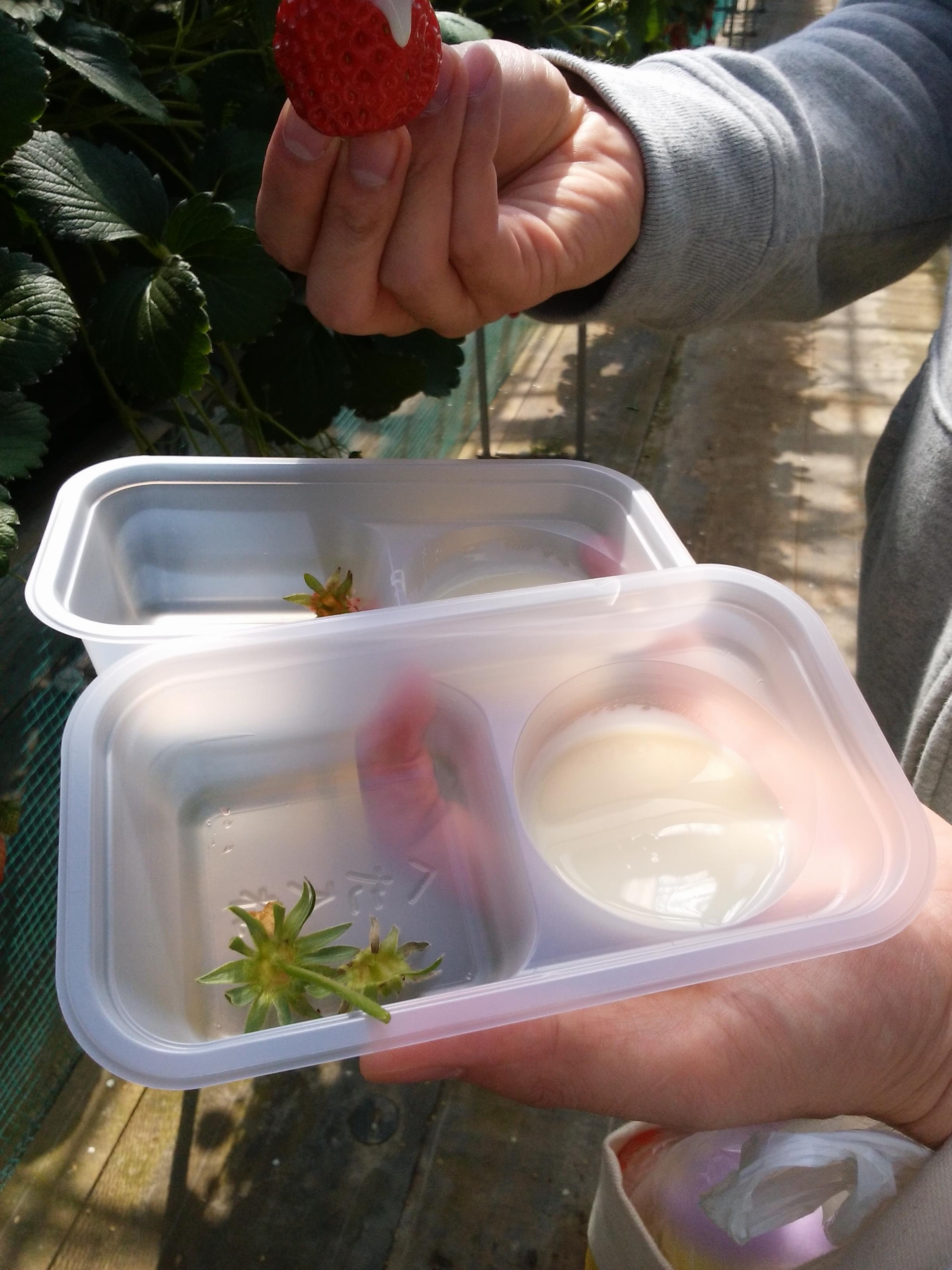 【イチゴ狩りで幸せ時間】穫りたてイチゴの美味しさは格別でした!!_2