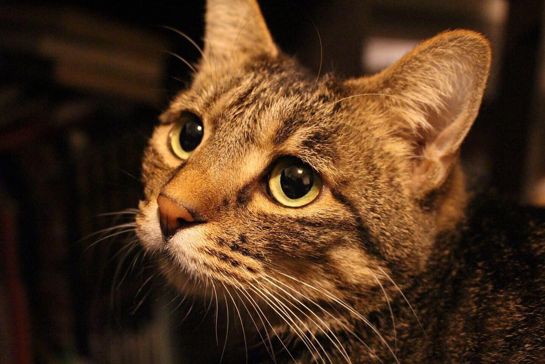 仕事部屋で飼い主を見つめる猫、雑種・がんくん