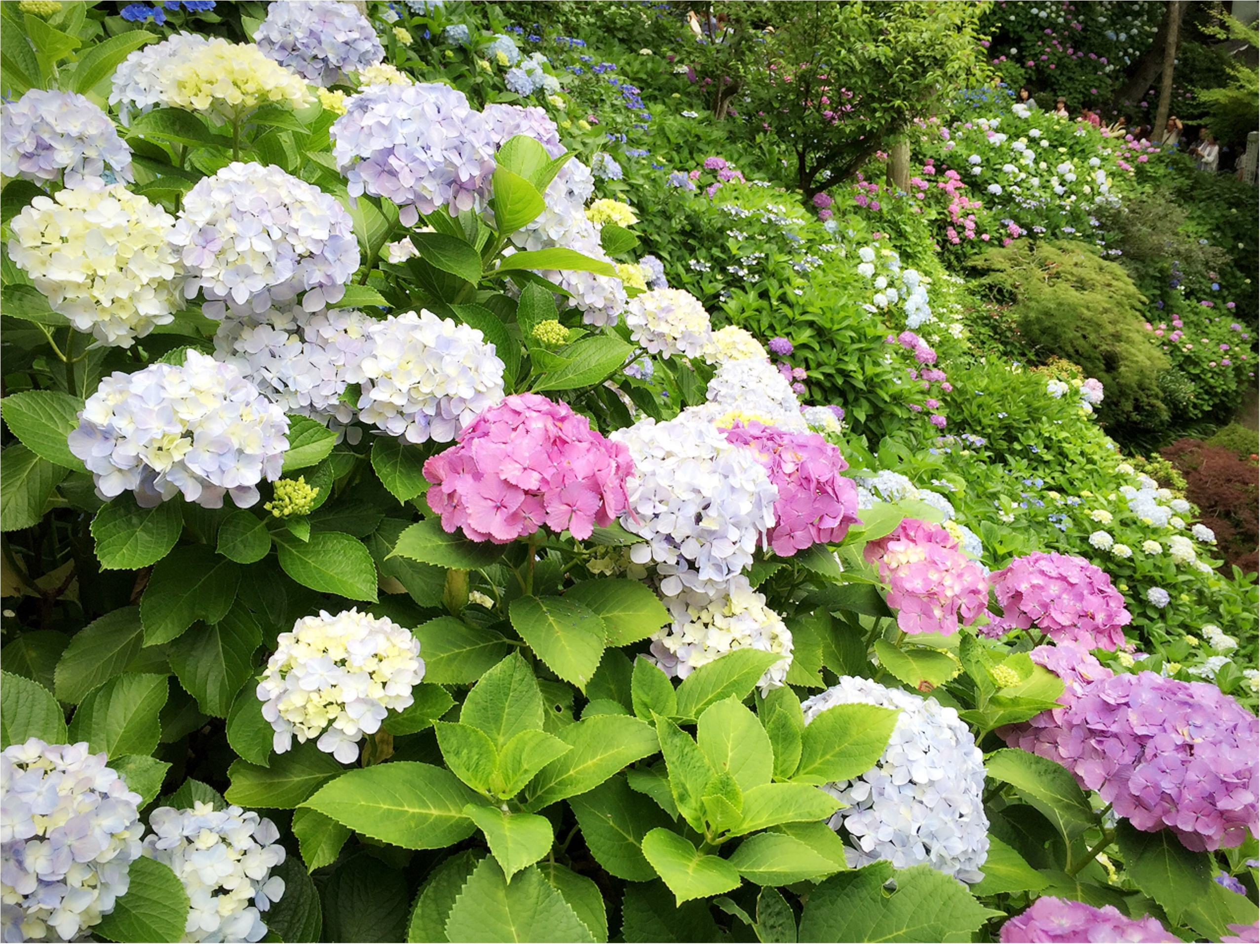 週末鎌倉さんぽ。今が見頃!紫陽花を見に長谷寺へ行ってきました♡*_1