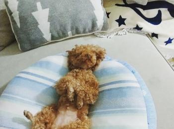 【今日のわんこ】テテちゃんが爆睡する寝姿はアレみたい!?