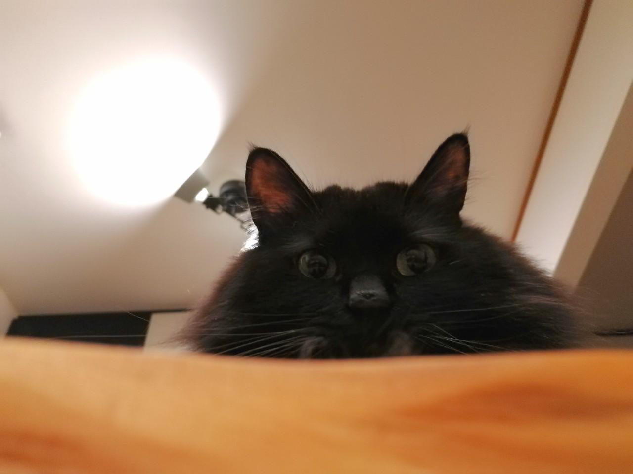 飼い主をソファーの上から覗き込む猫・ゆらちゃん