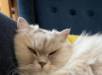 【今日のにゃんこ】ブサかわな表情で眠るココンちゃん