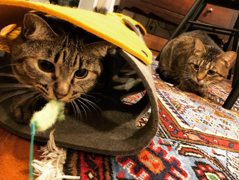 猫・サンちゃんが遊ぶ猫じゃらしを背後から狙う猫・がんくん