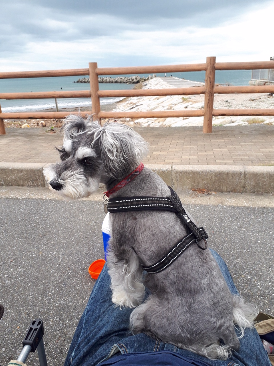 【今日のわんこ】パパと海辺デートを楽しむサクラちゃん_1