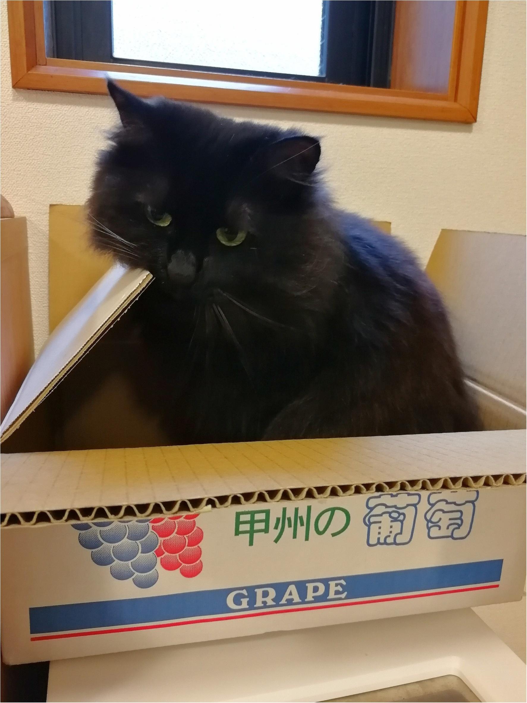 【今日のにゃんこ】なかなかいいにゃ! ゆらちゃんのお気に入りの箱_1