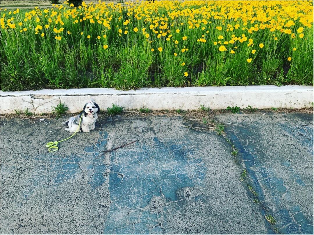 【今日のわんこ】きれいだね♪ 太郎くんとお花畑_1