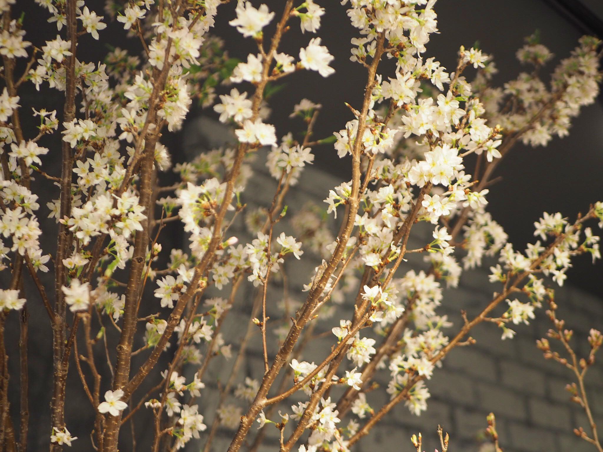 【おうちでお花見♡】AOYAMA FLOWER MARKETの桜が咲きました♩_4
