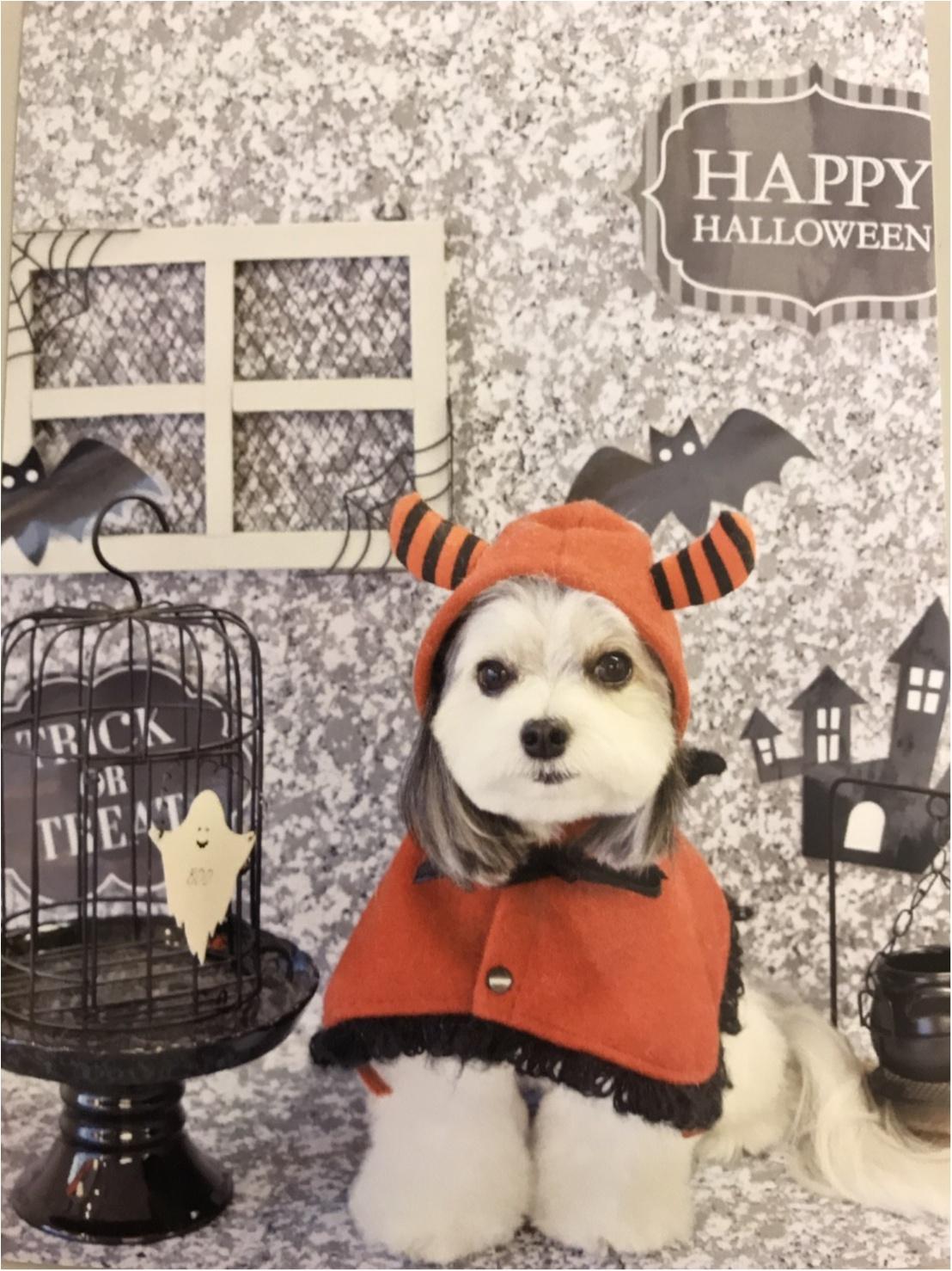 【今月のわんこ】チワワとマルチーズのミックス犬・太郎くんのコスプレ5選! ハロウィンの参考にしてみて♬_2