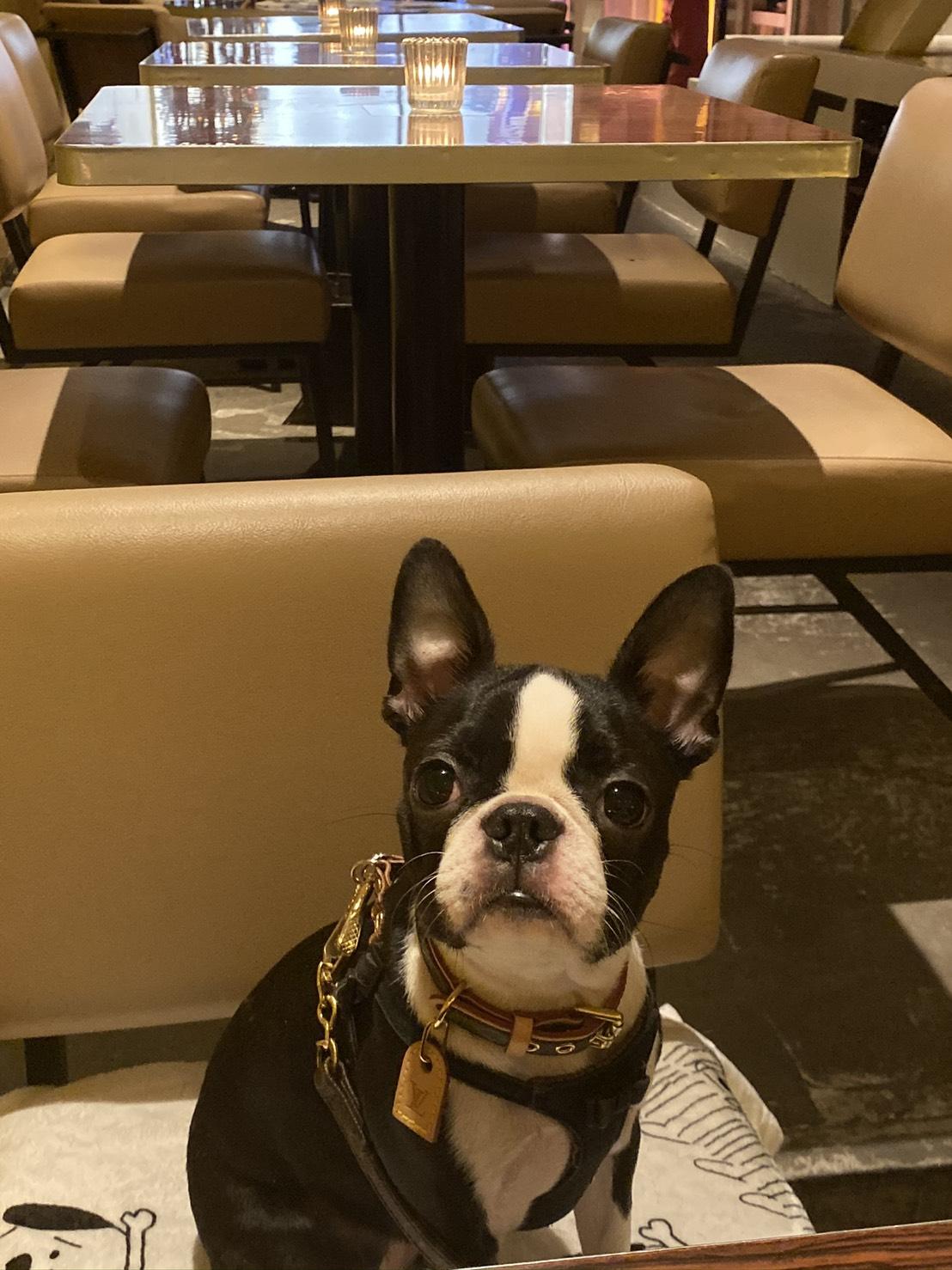 おしゃれなカフェにきた犬・へちまちゃん