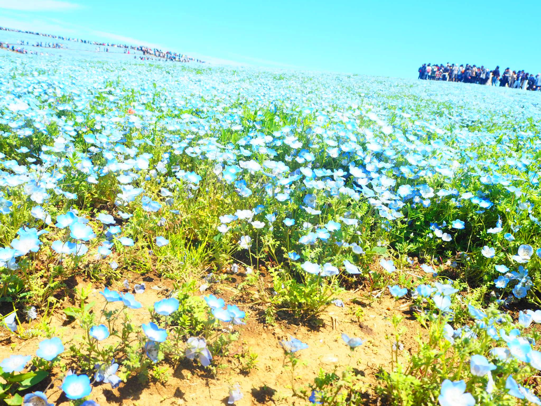 一面に咲き誇るネモフィラに大興奮&大感動! 『国営ひたち海浜公園』が圧倒的人気♡【G.W.中のモアハピ部人気ランキング】_3_3