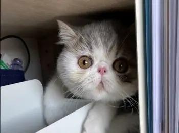 【写真】特技は軟弱猫パンチ!エキゾチックショートヘアの「こたつくん」PhotoGallery