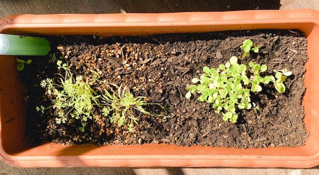 【ぶり農園】初めてのベランダ菜園でも育てやすい食料・お花はどれだ?_5