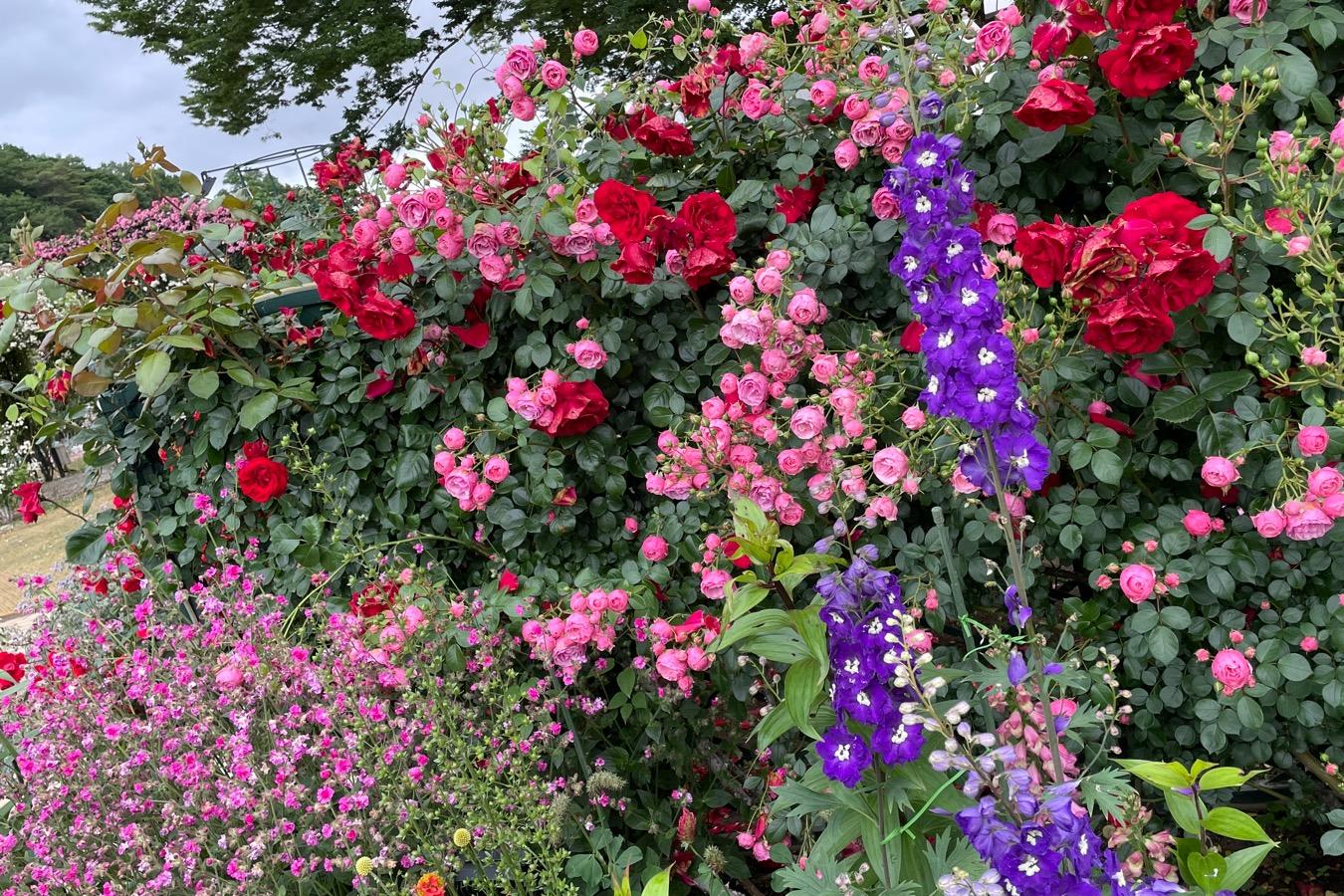 【薔薇満開】あしかがフラワーパークに行ってきました_8