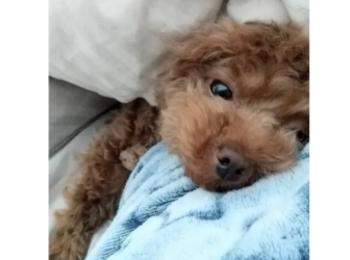 【今日のわんこ】テテちゃん、甘えん坊モードでベッドにIN!